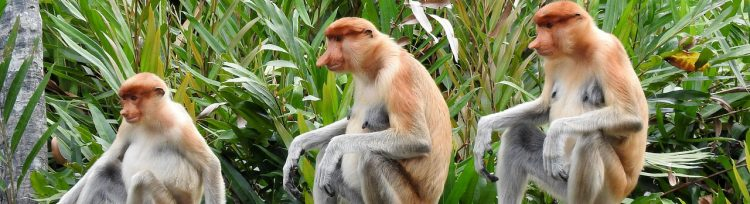 Malesia scimmia nasica